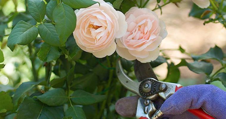Successful Spring Roses