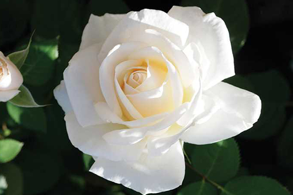 An image of the white rose 'Easy Spirit'