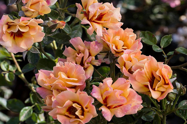 An orange pink image of eyeconic mago roses