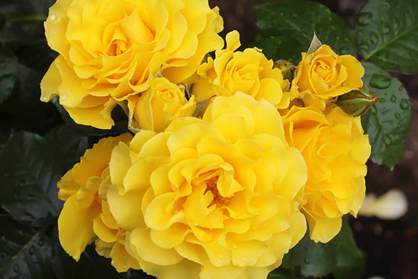 An image of the yellow floribundas