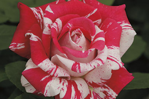 An image of the pink and white rose 'Fragrance'