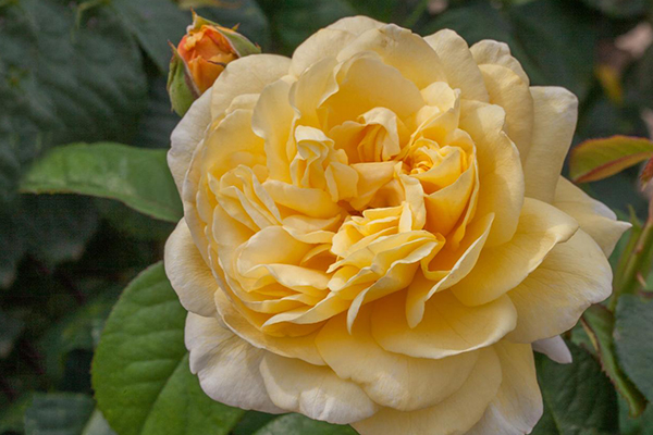 An image of the yellow rose 'Moonlight Romantica'