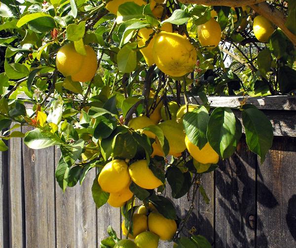 Citrus Fruit Tree - Lemon