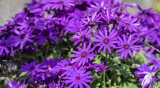 An image of violet Madagascar Jasmine