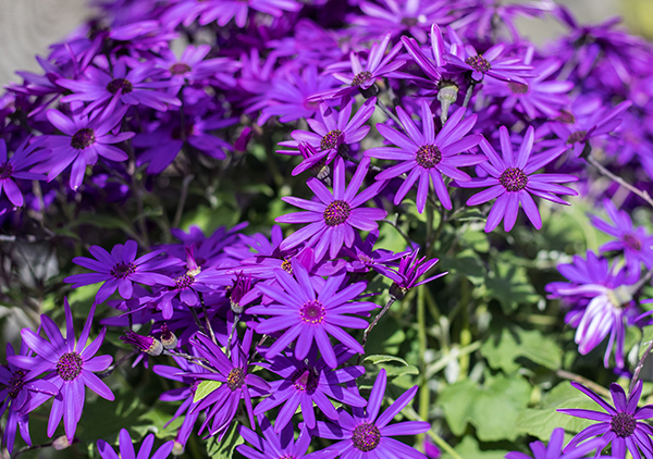 An iamge of a purple blue Senetti Cineraria