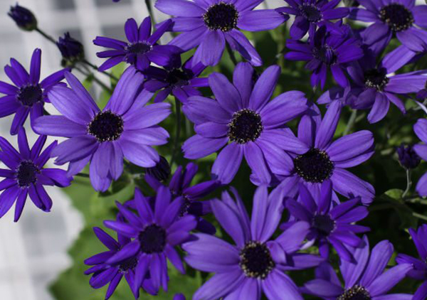 An image of a purple blue Senetti Cineraria