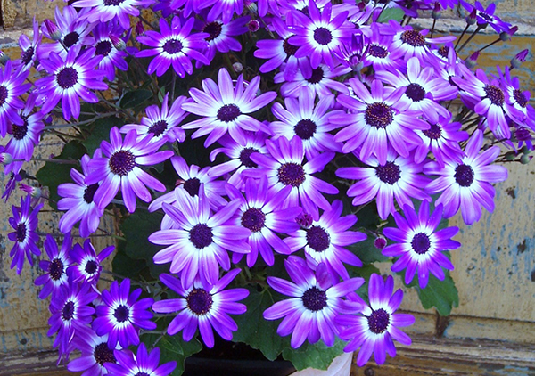 An image of violet Senetti