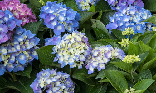 An image of blue hydrangea from Monrovia