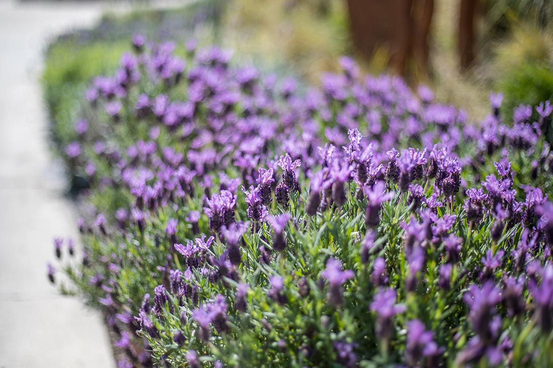 Image of Spanish Lavender