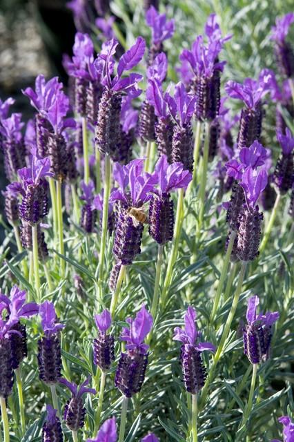 "Lavandula ""Winter Bee"""