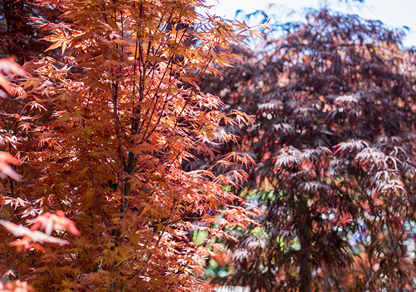 An image of an orange and dark red Japan Maple trees