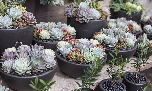 An image of succulents planted in black bowls