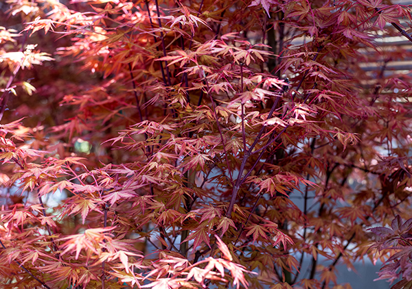 An image of red orange Japanese Maple tree