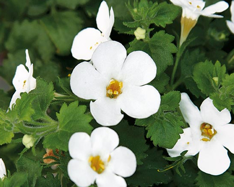 An image of a white bacopa