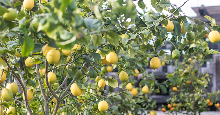 An image of yellow lemons for growing great ctirus seminar