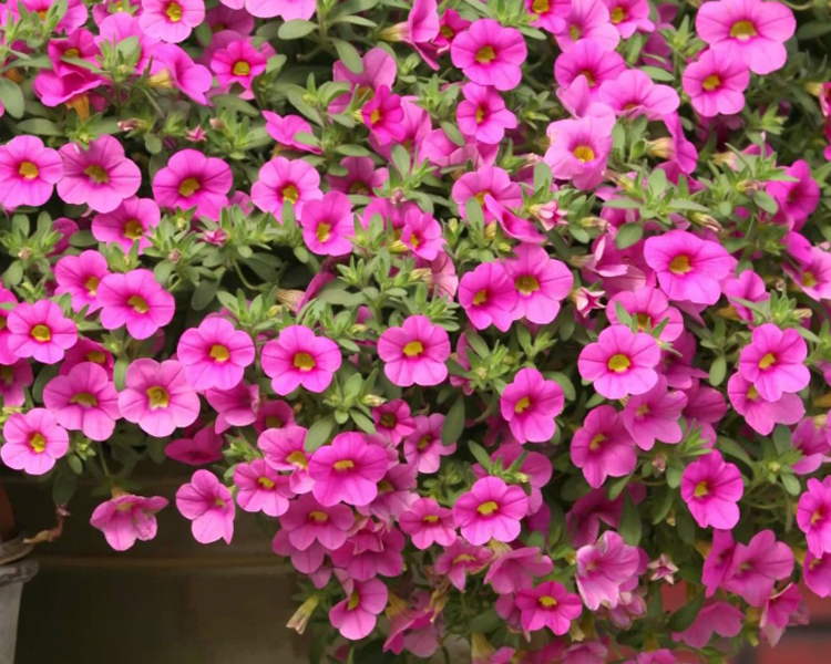An image of pink million bells