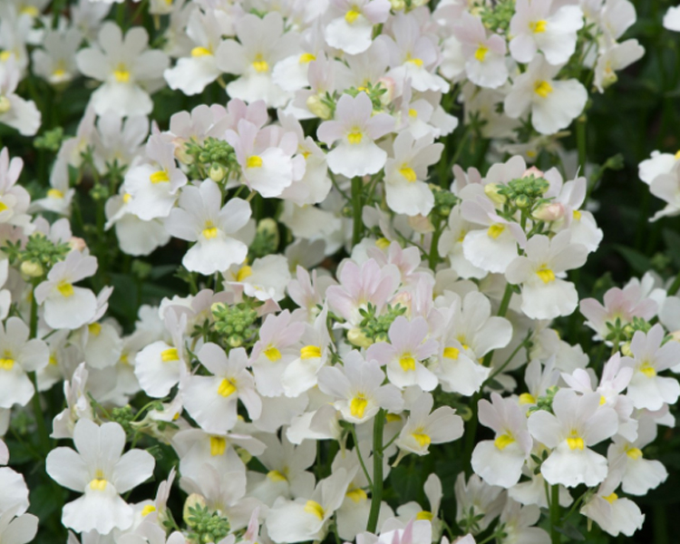 An image of a white nemesia flower