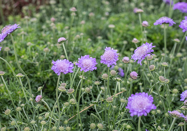 An image of light purple Scabiosa