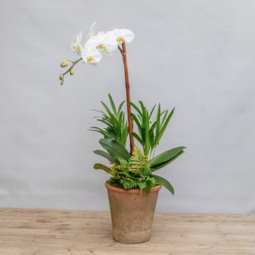An image of a white orchid in a clay pot for planted arrangements