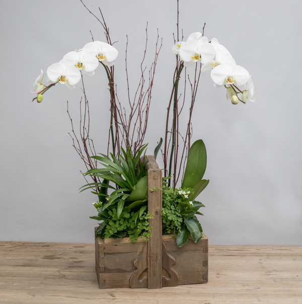 An image of two white orchids planted in a wooden basket