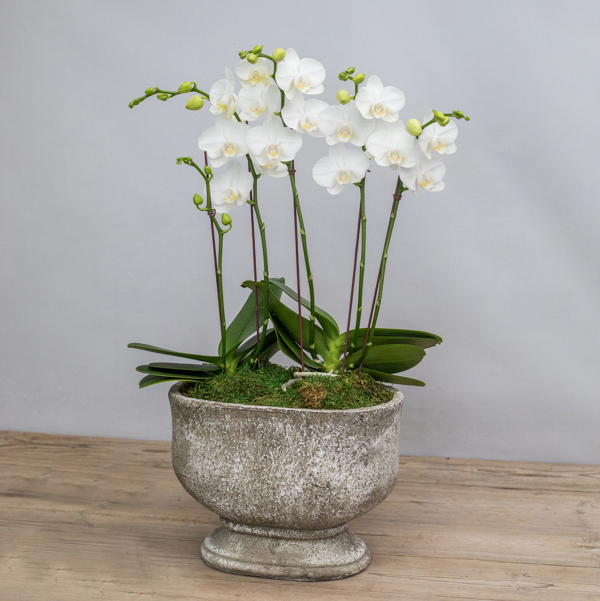 An image of white orchids planted in a stone pot