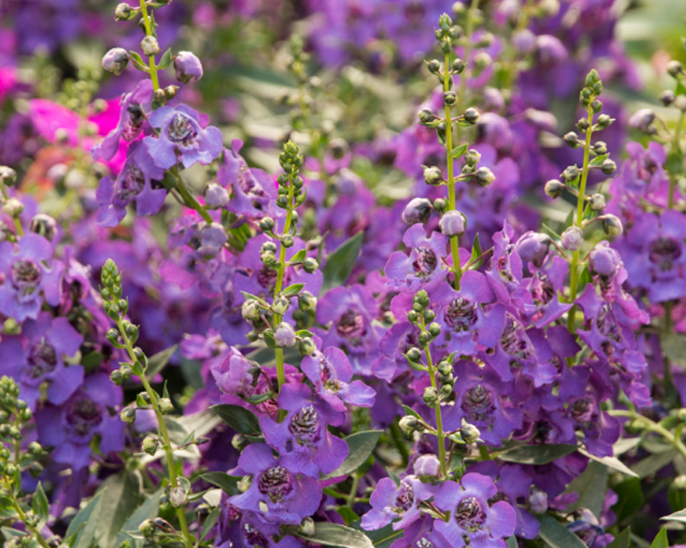 An image of a purple summer snapdragon