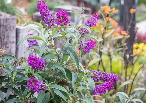 An image of a fuchsia butterfly bush
