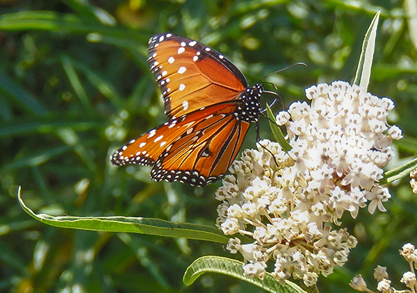 An image of a Monarch butterfly and a white native milkweed