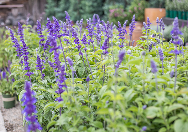 An image of purple salvia