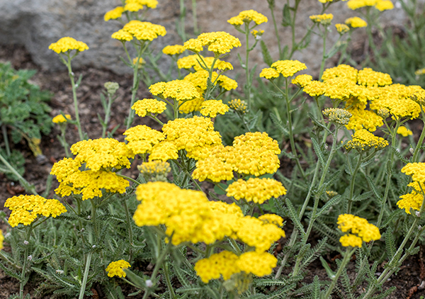 An image of yellow yarrow
