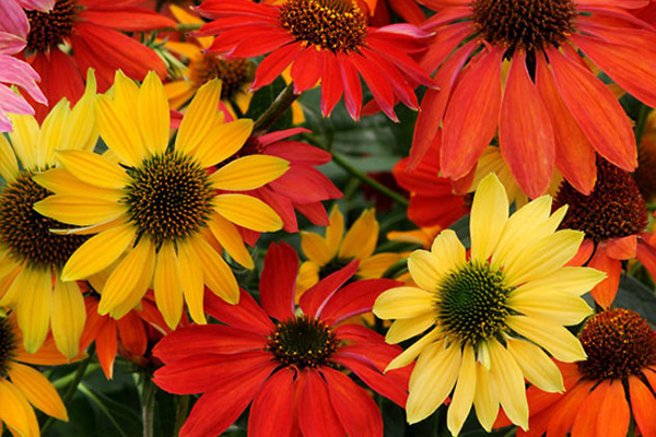 An image of red, orange and yellow sunflowers