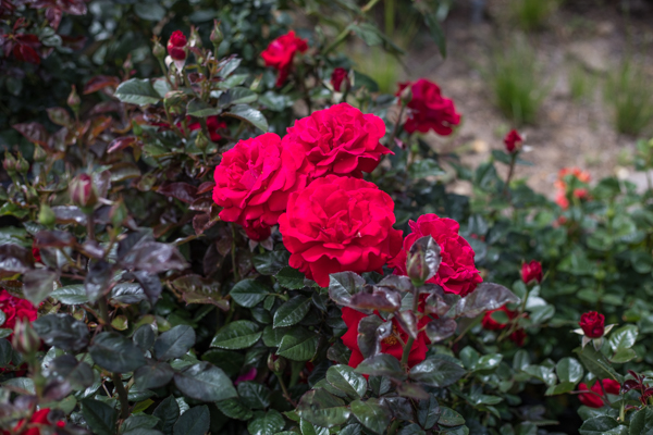 An image of red roses