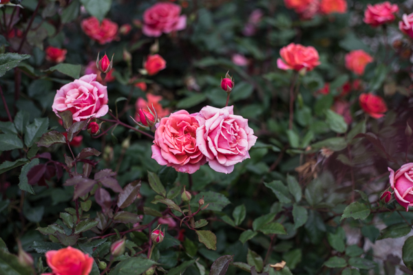 An image of red pink roses