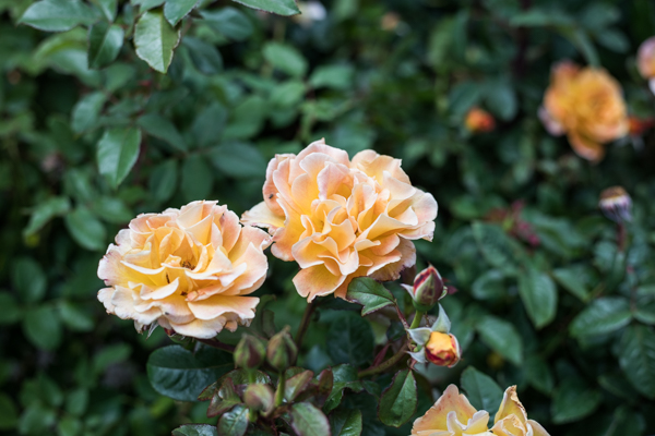 An image of two orange roses