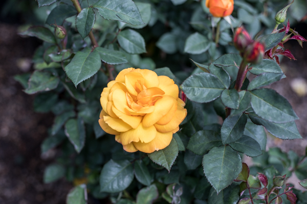 An image of a single yellow rose