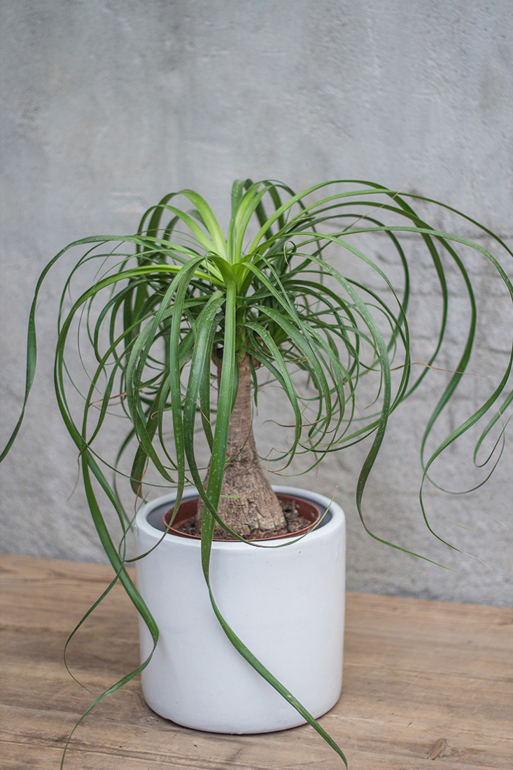 An image of a Beaucarnia Recurvata in a white pot