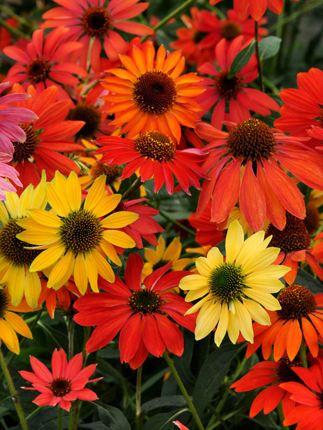 An image of red, yellow and orange Echinacea 'Cheyenne Spirit'