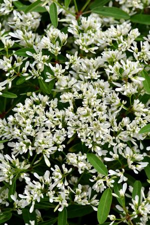 An image of white Euphorbia 'Starblast Snowdrift'