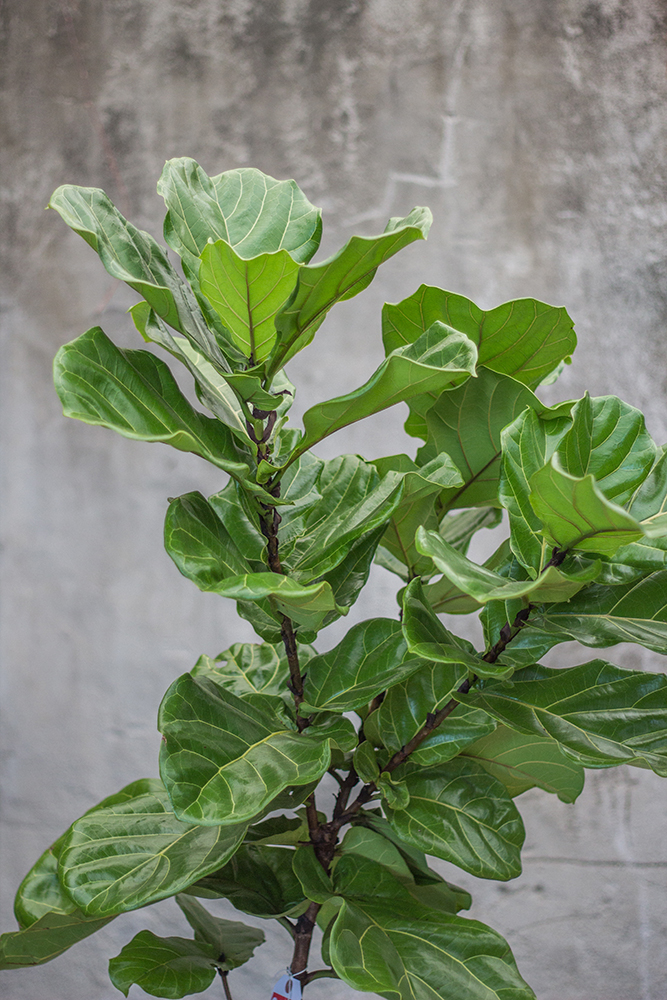 An image of a Fiddle Leaf
