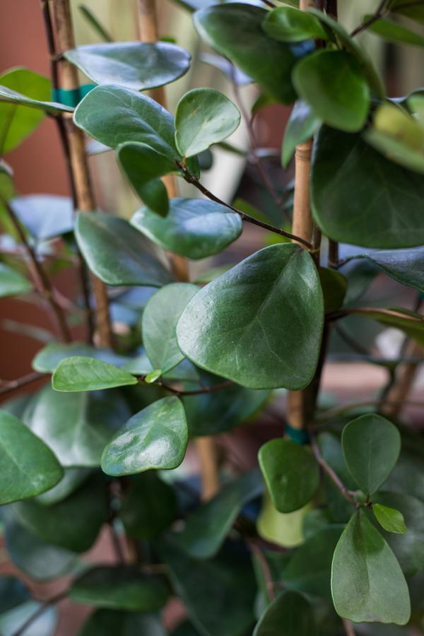 A close up image of a Ficus Audrey leaf
