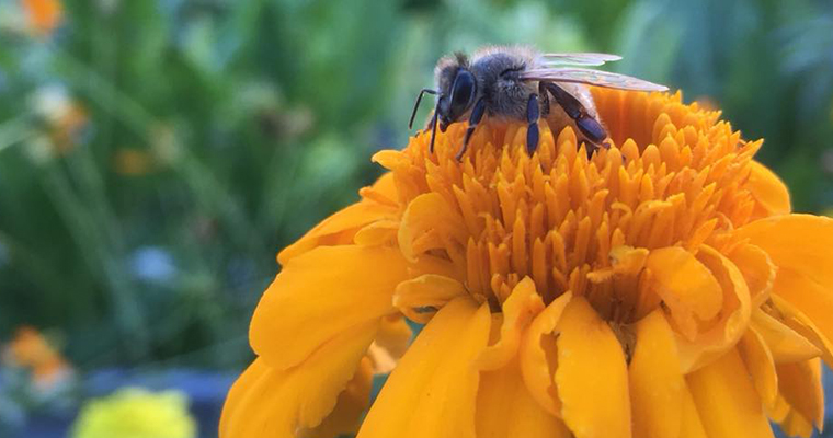 An image of a bumblebee pollinating a bright orange flower
