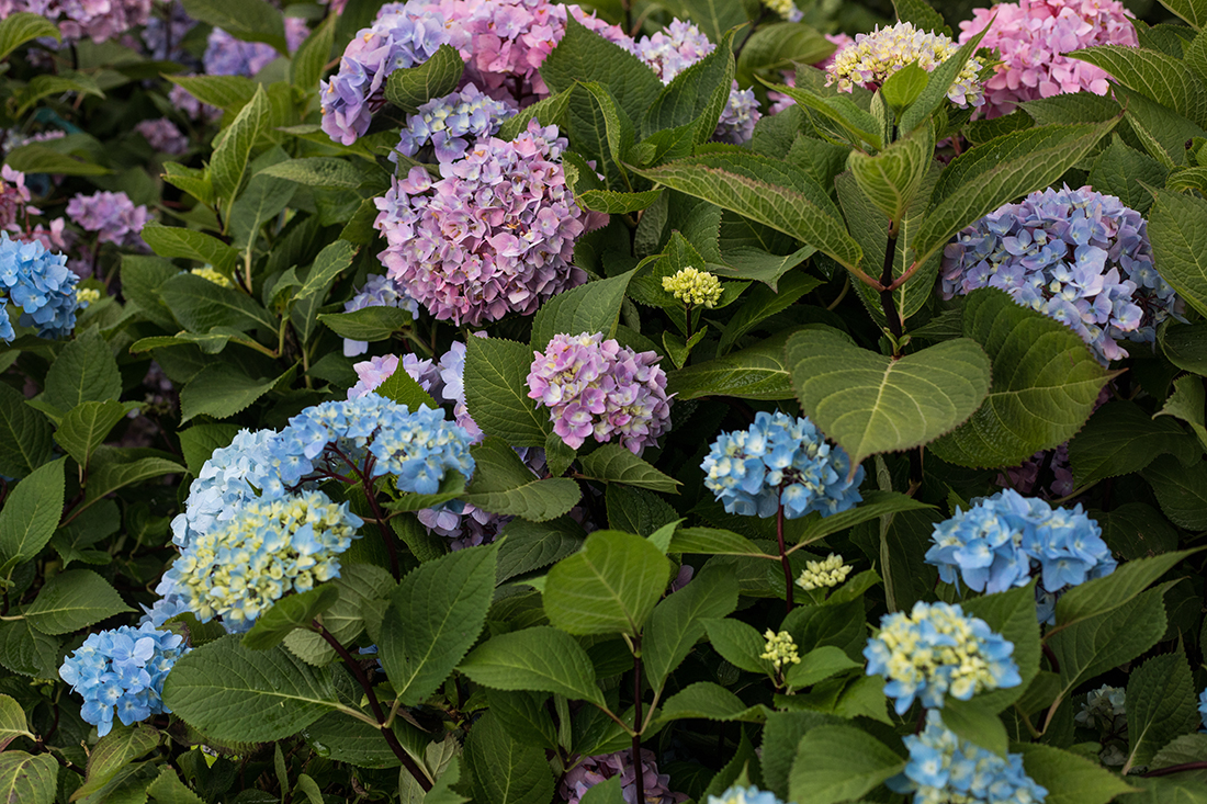 An image of pink, purple and blue hydrangea