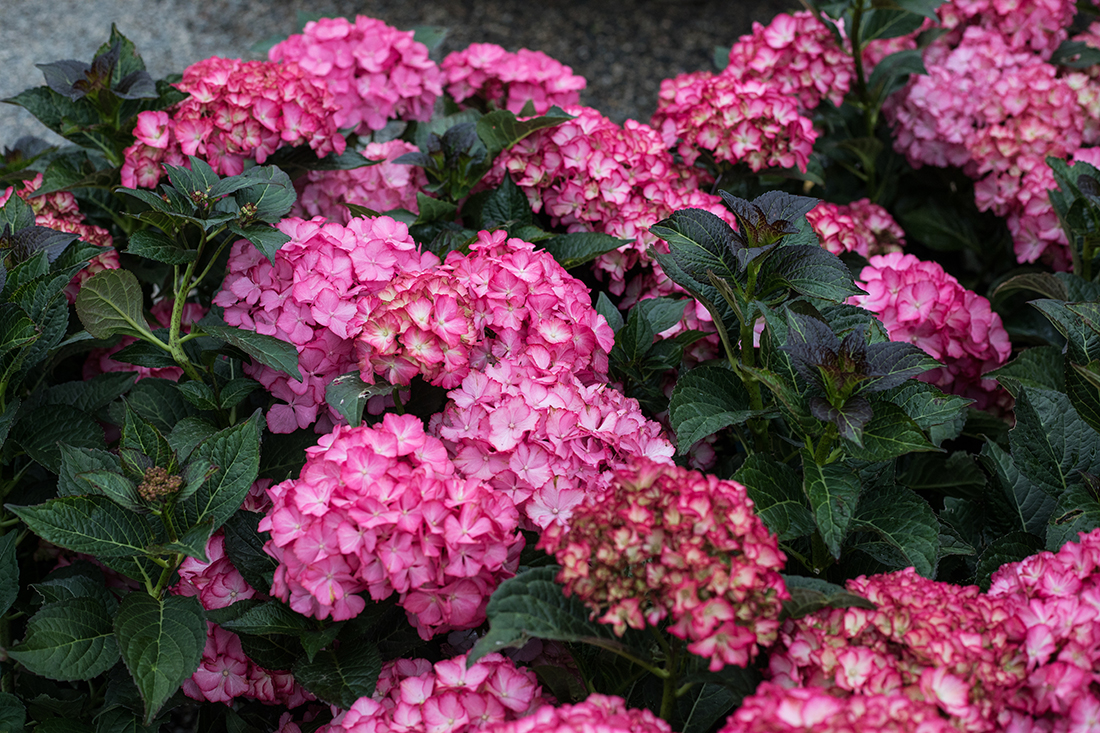 An image of multiple pink hydrangeas