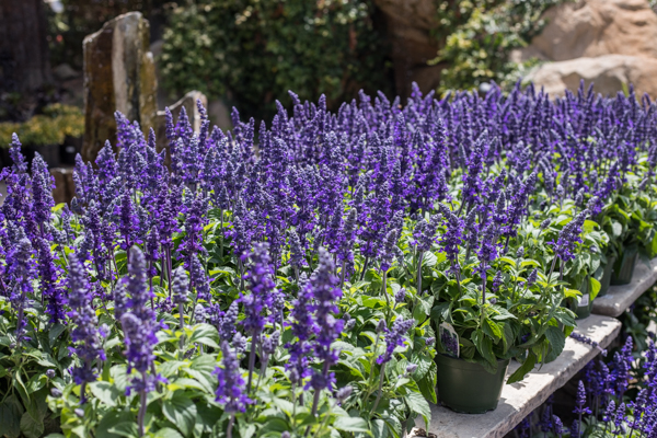 An image of purple mystic spires blue salvia