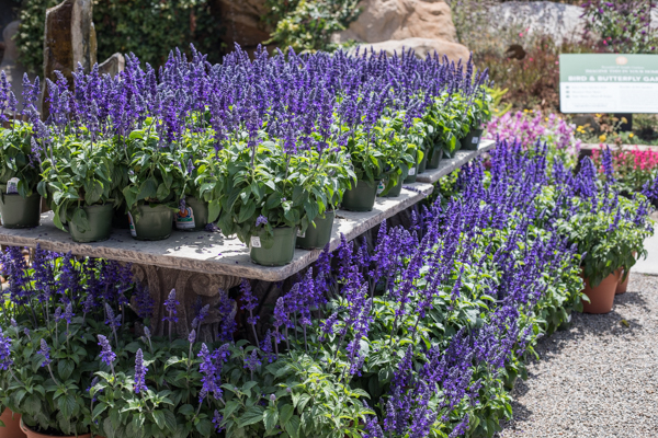 An image of mystic spires blue salvia