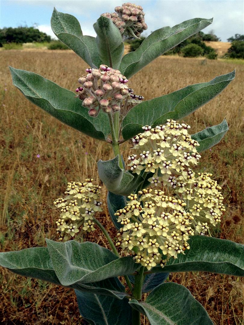 An image of white Asclepias eriocarpa (milkweed)