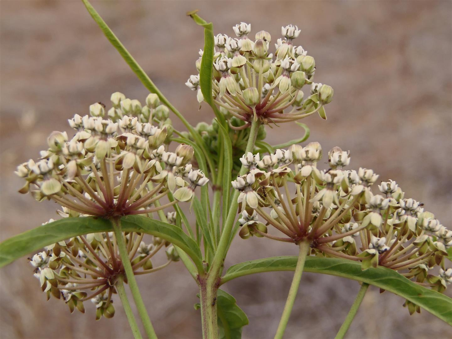 Narrow-leaf Milkweed (Asclepias fascicularis) is a native species that grows on our local hillsides and is an excellent foodplant for Monarch butterflies.