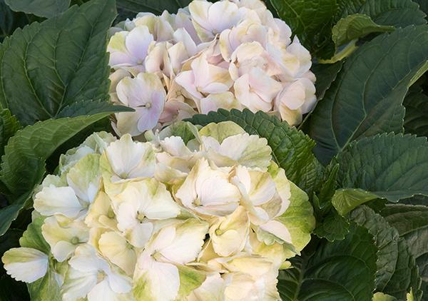 Seaside Serenade Hydrangea 'Cape Lookout' Roger's Gardens