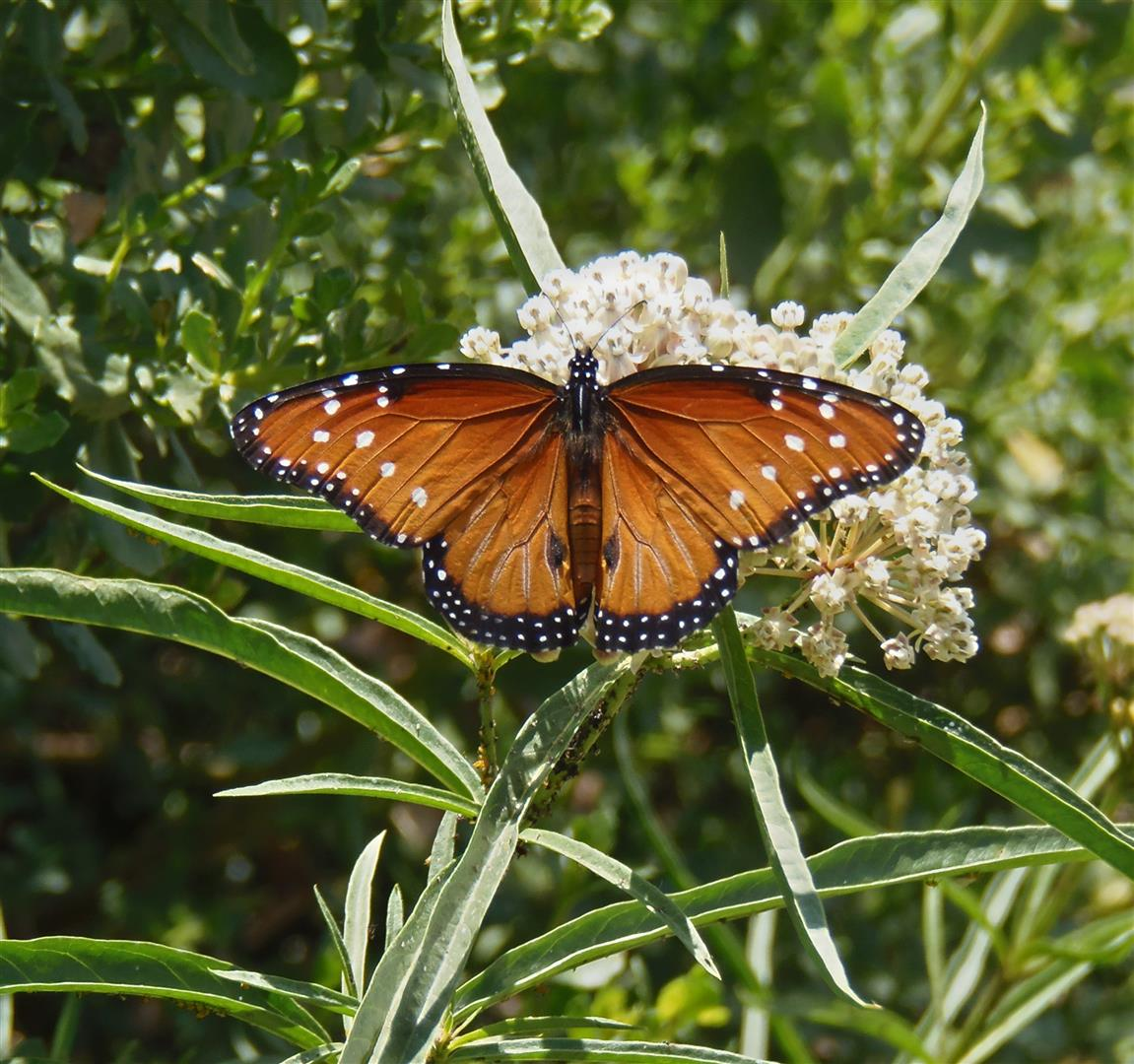 An image of Monarch on a milkweed