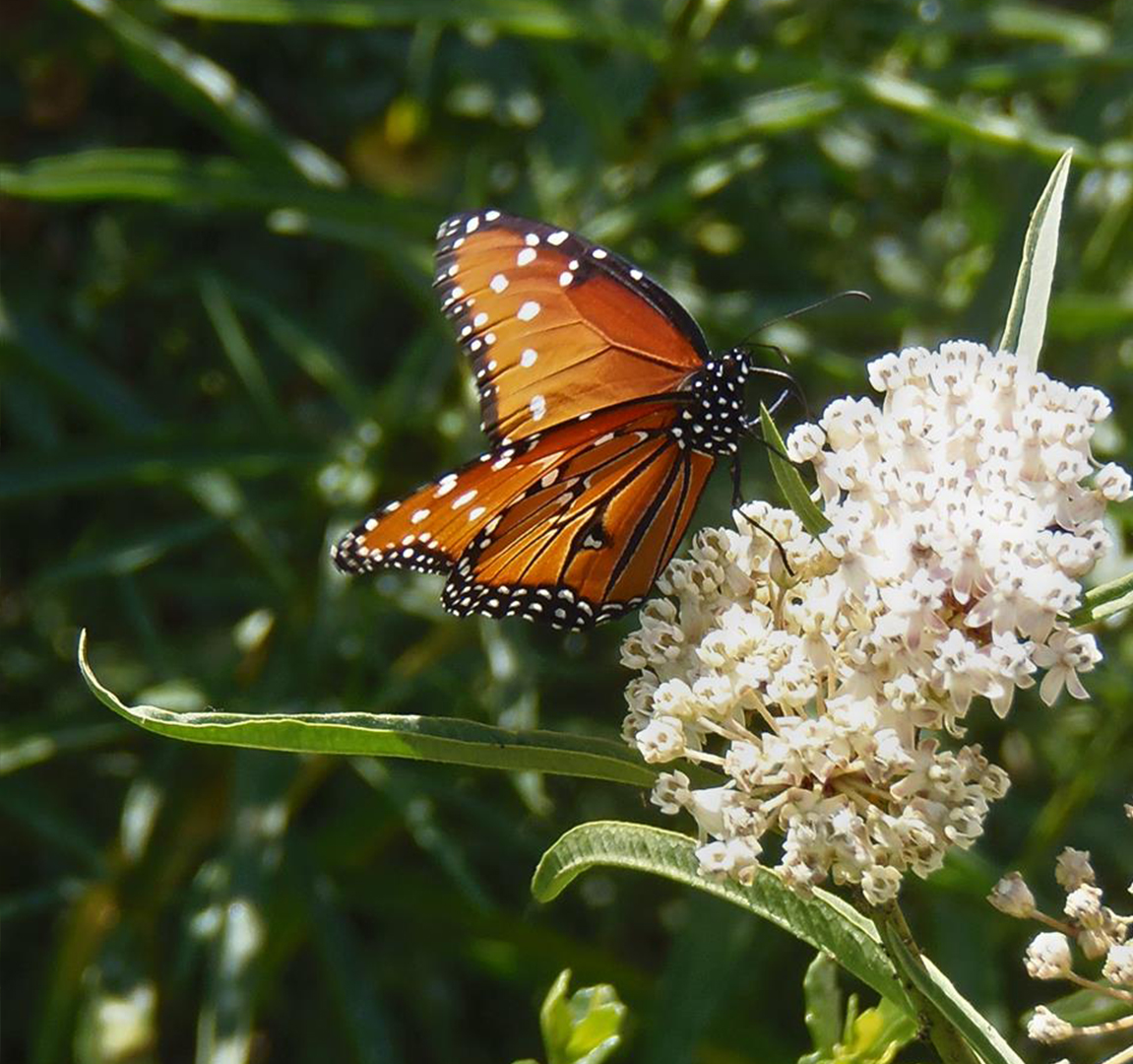 A close relative of the Monarch is the Queen Butterfly